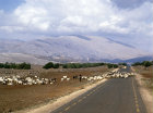 Israel, the Golan Heights, goats and Mount Hermon