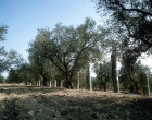 Israel, Sebaste, Roman columns among the olive trees