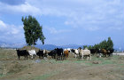 Israel, the Golan Heights, mixed herd of cows