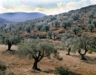Olive groves in Samaria, Israel