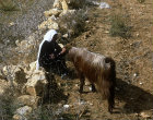 Israel, Hebron, Arab woman with one of her goats