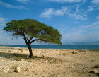 Israel, the Dead Sea and the Hills of Moab, an acacia tree