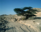 Israel, dried up Wadi and lone Acacia tree in Negev desert