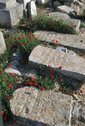Israel Jerusalem poppies bloom around old graves in the Jewish Cemetery on the Mount of Olives