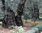 Israel, Jerusalem, ancient olive tree in the Garden of Gethsemane