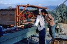 Israel, Quetara, Kibbutz, sorting peppers
