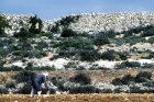 Israel, Samaria, Arab farmer working in his field in Samaria