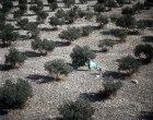 Olive harvesting, aerial, Samaria, Israel