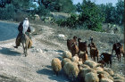 Israel, Arab on a donkey leading his sheep and goats