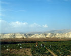Chilli crop in Jordan valley with Judean Hills (West Bank) in background, Jordan