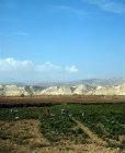 Chilli crop in Jordan valley with Judean Hills (West Bank) beyond, Jordan