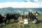 Porters loading yaks, Nepal