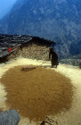 Woman flailing grain on rooftop, Nepal
