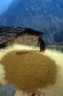 Woman flailing grain on rooftop, Nepal