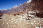 Yaks, Nepal