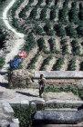 Potato field, Kathmandu Valley, Nepal