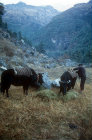 Yaks being unloaded on a trek, Nepal