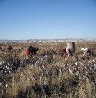Bedouin cotton pickers at al-Hardaneh, Euphrates Valley, Syria