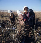 Bedouin mother and children picking cotton in September at al-Hardaneh, Euphrates Valley, Syria