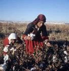 Bedouin girls picking cotton in September at al-Hardaneh, Euphrates Valley, Syria