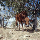 Young brown cow under olive tree at Qalaat Seman, Syria