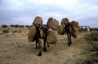 Camels carrying bales of cotton, al-Hardaneh, Euphrates Valley, Syria