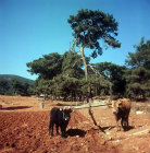Cattle with wooden plough, Aegean region, Turkey