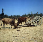 Two oxen with typical cart, near Tyre, Aegean region, Turkey