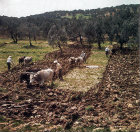 Four teams of oxen ploughing in an olive grove, Aegean region, Turkey