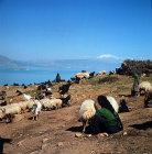 Nomad woman milking sheep above Lake Egridir south of Antioch, Pisidia, Turkey
