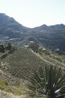 Qat growing on terraces, Yemen