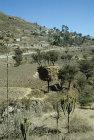 Canestack in tree, Jibla, Yemen